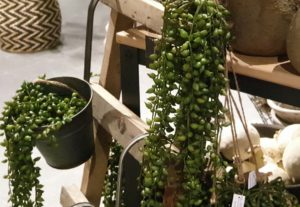 Seneciohanger (erwtenplant) Brynxz